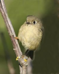 Ruby-crowned Kinglet Photo