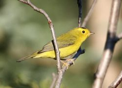 Wilson's Warbler Photo