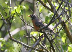 American Robin Female Photo
