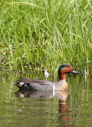 Green-winged Teal Male Photo