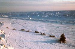 Iditarod Dog Team at Nome Photo