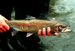 Rainbow Trout in Hand at Gechiak Creek Photo