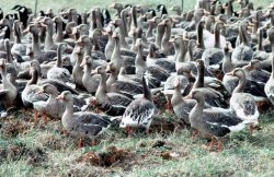 Flightless White-fronted Geese in Pen Photo