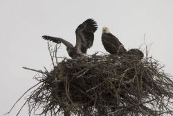 Bald Eagles nesting at Islands and Ocean Visitor Center Photo