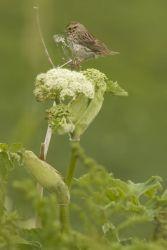 Chowiet Island Savannah Sparrow Photo