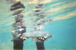 Arctic Grayling in Hand Photo
