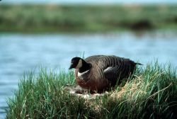Cackling Canada Goose on Nest Photo