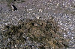 Glaucous-winged Gull Nest Photo