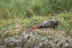 Tufted Puffin, half eaten on Aiktak Island Photo
