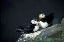 Horned Puffin pair Photo