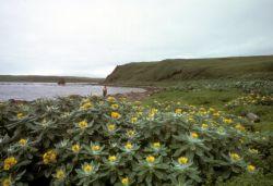 Amchitka Island, Beach Fleabane in full bloom Photo