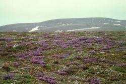 St. Matthew Island, Blackish (or Purple) Oxytrope Photo