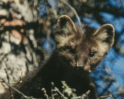 Marten in Spruce Tree Photo