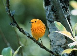 Male Yellow Warbler Photo