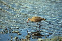 Marbled Godwit at Shoreline Photo