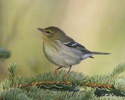 Blackpoll Warbler - Fall Plumage Photo