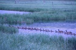 Canada Geese and Broods Photo