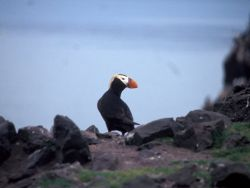 Tufted Puffin Bogoslof Island Photo