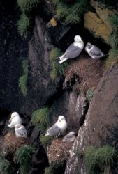 Black-legged Kittiwakes on Hall Island Photo