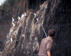 Common Murre noosing on Bogolslof Island Photo