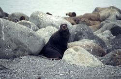 Northern Fur seal Bogoslof Island Photo