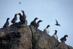 Parakeet and Crested Auklets on Hall Island Photo