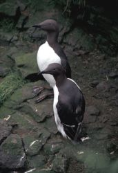 Common Murres on Hall Island Photo