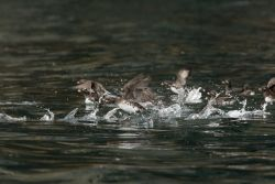Parakeet Auklets, Castle rock, Shumagin Islands Photo