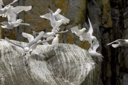 Black-legged Kittiwake nests, Castle Rock, Shumagin Islands Photo