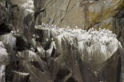 Black-legged Kittiwakes, Castle Rock, Shumagin islands Photo