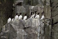 Common Murres, Castle Rock, Shumagin Islands Photo