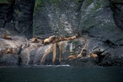 Steller Sea Lion Haulout in the Aleutian Islands Photo