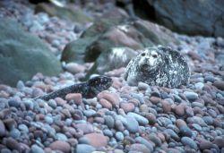 Buldir Island, Harbor seal and pup Photo