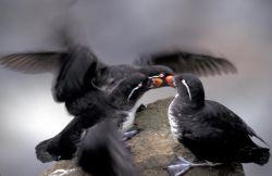 Parakeet Auklets, St. George Island, Pribilofs Photo