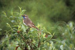 Bluethroat Male Photo