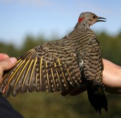 Northern Flicker, Yellow-shafted Photo