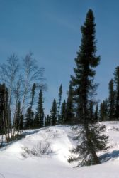 Mud River Drainage Spruce Forest Photo