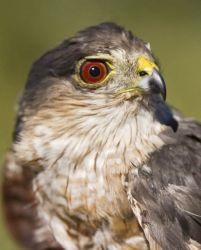 Sharp-shinned Hawk Photo