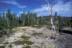 Kanuti Refuge Vegetation Photo