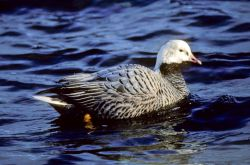 Emperor Goose on Water Photo
