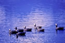 Emperor Geese on Water Photo