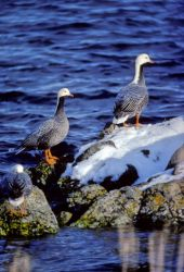 Emperor Geese in Winter Habitat Photo