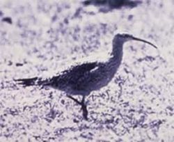 Curlew, Eskimo (B01A) Photo