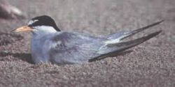 Tern, least (B07N) Photo