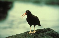 Black Oystercatcher Photo