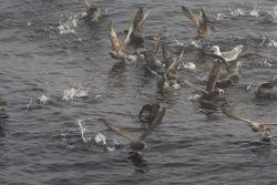 Northern Fulmars near Chagulak Photo