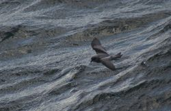 Fork-tailed Storm-Petrel Photo