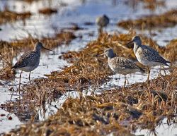 Greater Yellowlegs Photo