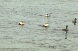 Common Eider Drakes and Hens Photo