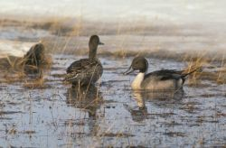 Pintail Duck Pair Photo